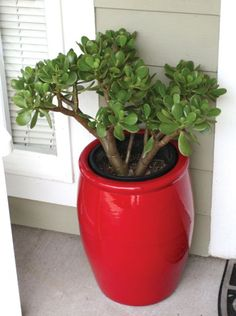 Jade plant in a red pot