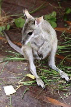 Holly | Rescued agile wallaby