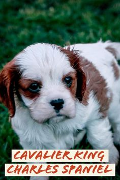 The Cavalier King Charles Spaniel is one of one of the most preferred breeds of dogs on the planet. They're friendly as well as charming, and also they make terrific companions to families. As a result of their dimension, they're ideal for apartment or condo life. Unsure About Taking Care Of Your Dog? Learn The Best Tips Here! Is your dog disobedient? Does your furry friend want to chew up various things around the house that you simply don't would like it to? Perhaps it is tim