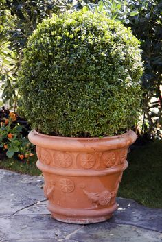 Drought won't bother Boxwoods. They're classic ornamental greens, whether grown large as hedges or sculpted into a potted topiary.