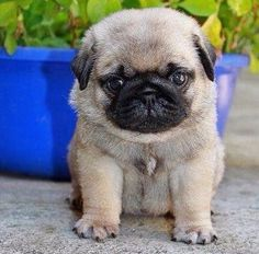Pug puppies are awesome