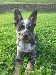 Australian Cattle Dog Puppies For Sale In Ky