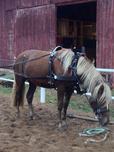 Nuoren hevosen ajo-opettaminen osa 4. Ohjasajon varusteet ja kuolaintuntuma | mwhevospalvelut