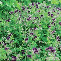 Geranium phaeum - for a shady area