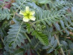 Did you know about the benefits of tribulus terrestris? Are you aware of what you stand to lose without tribulus terrestris? Here are some key reasons why you need this amazing herb. Bonsai Plants, Garden Plants, Garden Weeds, Boost Testosterone, Testosterone Production, Natural Testosterone, Libido, Annual Plants, Plantar