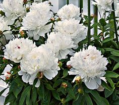 Paeonia Festiva Maxima : White Peony, deer resistant, June bloom, deadhead the bloom: 4'x3'  We have this in our southeast bed.