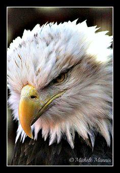 The beautiful Bald Eagle.