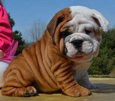 cute wrinkly bulldog naming