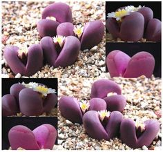 How to Grow Lithops - cultivating Pebble Plants and Living Stones
