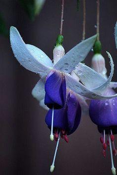 Blue Fuchsia