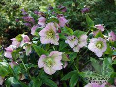 Helleborus Orientalis Burncoose Nurseries