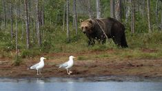 Brown Bear - Our National Animal Finland National Animal, Margaret Atwood, Brown Bear, Finland, Flora, Country, Animals, Image, Animales