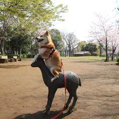Settled. #shiba#shibe#shibainu#shibainuuni#shibalovers#shibaoftheday#shibastagram#instashiba#lovepets#lovedogs#loveshiba#dog#doge#doglovers#uni#unistagram#dogstagram#instagood#love#tokyo#japan#happyface#unihalo#柴犬#柴犬うに#dogoftheday#うに#うにはろ