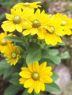 'Irish Eyes' Black-Eyed Susan--- gotta find these