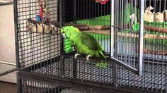 Parrot meows like a cat! Amazon Parrot, Like A Cat, Cool Pets, Hilarious, Funny, Creatures, Bird, Simple Pleasures, Cats