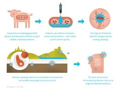 A complete picture reaction of why animals are given the antibiotics and what the affects are because of it.