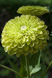 Benary's Giant Lime double zinnia (Zinnia elegans 'Benary's Giant Lime') was originally released for use in cut flower production. Fortunately, bedding plant nurseries have picked up this cultivar for use in the back of the flower bed during the dog days of summer when most other annuals have melted out. Growing to 3 feet tall, it has fully double flowers to 5 inches in diameter on sturdy stems. This cultivar is more resistant to powdery mildew than many other zinnias on the market.