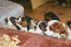 """Cavaliers DO like to """"help"""" with cooking. the one in the center with the eyes buggin out is just like my monkey when he's begging!"""