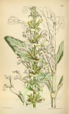 sage-00031 - 6300-salvia schimperi [2220x3644] - free clipart animals books flight 18th Victorian illustration fish public river water naturalist 1700s craft Graphic qulity ornaments paintings 17th 1800s wall century nice vintage decoration use supplies beautiful scrapbooking ocean commercial fishing old domain engravings animal ArtsCult pre-1923 transfer Edwardian pages animalia 1900s pack collage fabric collection marine nature art ArtsCult.com natural download Paper flying picture digital…