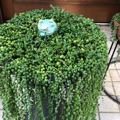 String of Pearls - these will fill small to large pots, adding a gorgeous plant trellis to any room. Succulent Gardening, Succulents Garden, Garden Plants, Container Gardening, Planting Flowers, Succulent Wall, Flowers Garden, Indoor Garden, Vegetable Garden