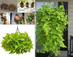 Cultiva camote en agua y aprovecha sus frondosas hojas para enverdecer tu hogar