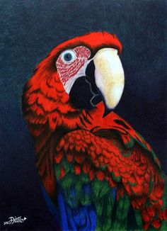 Parrot study in colored pencil