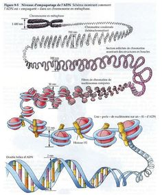 The endoplasmic reticulum synthesizes steriods and lipids