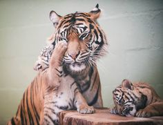 Mom has her paws full with these Tiger triplets, born October 8 at the Point Defiance Zoo & Aquarium.  More photos at ZooBorns.com and at http://www.zooborns.com/zooborns/2015/01/mom-has-her-paws-full-with-tiger-triplets-.html