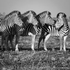 Nuzzling zebras photographed by @bushmanbentley while on assignment for WWF in Namibia.