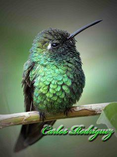 Cuban Emerald, Chlorostilbon ricordii: Cuba/the Bahamas Hummingbird Nests, Hummingbird Garden, Hummingbird Tattoo, All Birds, Little Birds, Wild Creatures, Bird Food, Different Flowers, Colorful Birds