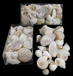 Wedding Shells in a Box