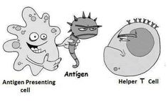 Immunology. Antigen, T helper, APC