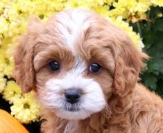 Look at this adorable face! Gonzo is a real charmer so you will not be able to say no to him. This Cavapoo puppy is family raised with children, friendly, Havapoo Puppies, Cavapoo Dogs, Cavapoo Puppies For Sale, Cute Dogs And Puppies, Cute Little Puppies, Cute Dogs Breeds, Dogs For Sale, Fluffy Puppies, Teddy Bear Puppies
