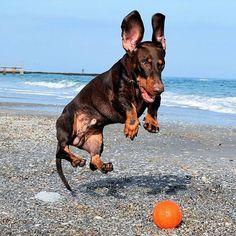 N/A Funny Dog Toys, Best Dog Toys, Big Dog Little Dog, Big Dogs, Thai Chi, Weenie Dogs, Dog Rules, Mans Best Friend, Cute Baby Animals