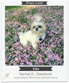 """""""some fun facts about ellie... she is a 2 year old imperial shih tzu she lived in florida for the first year of her life, now she lives in ct she has white whiskers on the right side of her face and black on the left her favorite toys are muffy, the earmuff wearing hedgehog and donut, the donut her favorite activity is chasing her many friends but her best friend is Goldie, she is a maltipoo her favorite color is pink her favorite snack in cooked baby carrots she ALWAYS has a bow"""""""