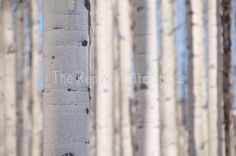 "The Red  White Strip, an Etsy Shop... ""Aspen In Focus"" - Vail, Colorado - Nature Photography  Metallic Prints, Signed Prints, Canvas, Metal Prints, and Photo Cards"