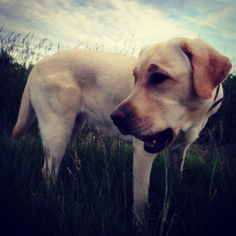 Endlich Sommer! #hunde #welpe #dog #puppy #labrador