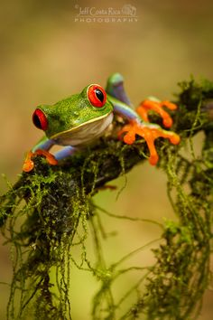 Red Eyed Tree Frog; photograph by Jeffrey Muñoz
