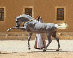 Phaaros - Arabian stallion.