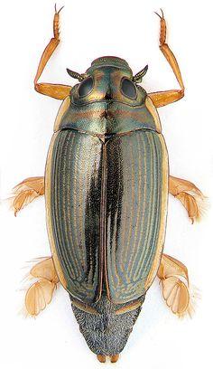 Aulonogyrus concinnus (Klug, 1834)
