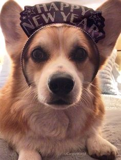 Happy New Year, everybody! - Hummer the cute Pembroke Welsh Corgi, sending his very best wishes to all.