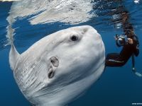 I've never knew about this creature before seeing this pic ... beautiful and amazing! Ocean sunfish, or molas can measure 14 feet and weigh as much as 5,000 pounds. They're found in tropical and temperate oceans. With their large bodies, truncated tails, tiny mouths, and huge eyes, they look like something not entirely whole and not of this world.  They feed primarily on jellies but will also eat squid and small fish.