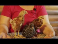Becky's Homestead 302: Laying Hens - http://www.youtube.com/channel/UCMAeSYIjnPm4xqdtxQju71A/videos