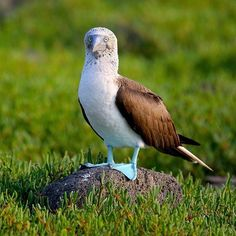 The iconic blue-footed booby  one of the most-loved animals of Galapagos! Photo by Adrian Dale. #boobybird #bluefeet #seabirds #birdphotography #birdsofinstagram #wildlifephotos #galapagosislands #galapagos #islasgalapagos #ecuador #southamerica by galapagosconservancy