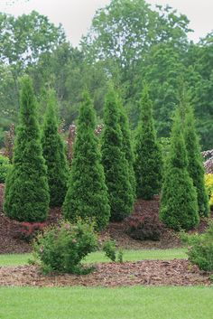 For a native privacy fence, plant North Pole arborvitae (Thuja occidentalis). It has excellent hardiness and is resistant to winter burn.