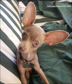 This chihuahua looks like my daughters Prince.