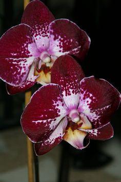 Moth-orchid: Phalaenopsis 'Jiuhbao Fairy'