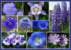 Singin' The Blues - Exclusive Blue Wildflower Seed Mix