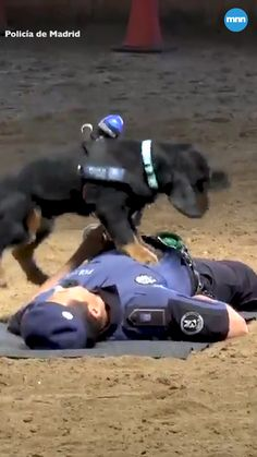 Poncho the police dog is a hero for the internet. In a practice demonstration, Poncho's officer falls down, giving the trained pup an opportunity to spring into action. The video of this precious police dog has millions of views across social media, and Funny Animal Videos, Cute Funny Animals, Animal Memes, Cute Baby Animals, Funny Dogs, Dog Videos, Military Dogs, Police Dogs, Police Police
