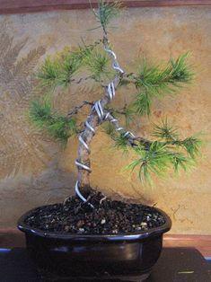bonsai wiring technique bonsai penjing pinterest bonsai rh pinterest com Bonsai Styles Bonsai Wiring Tips